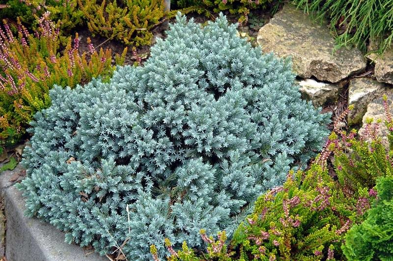 «Хвойники в ландшафтном дизайне» фото - Juniperus squamata Blue Star 800x531