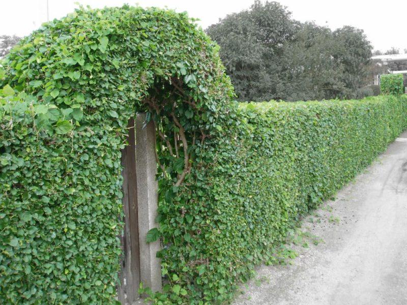 «Виды вьющихся растений для украшения забора на участке» фото - 1 10 800x600