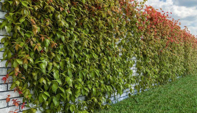 «Виды вьющихся растений для украшения забора на участке» фото - 14 2 800x457