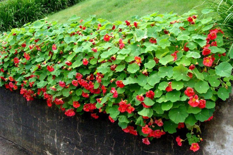 «Виды вьющихся растений для украшения забора на участке» фото - 2355773 800x532