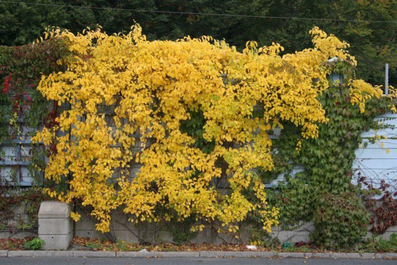 «Виды вьющихся растений для украшения забора на участке» фото - 4107ef77b12b38af0b229f0d0331e8fe 800x533