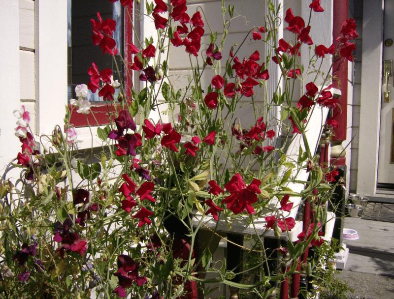 «Виды вьющихся растений для украшения забора на участке» фото - 45 800x608