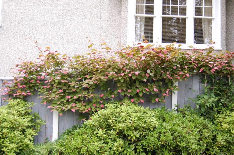 «Виды вьющихся растений для украшения забора на участке» фото - 72638 orig 800x532