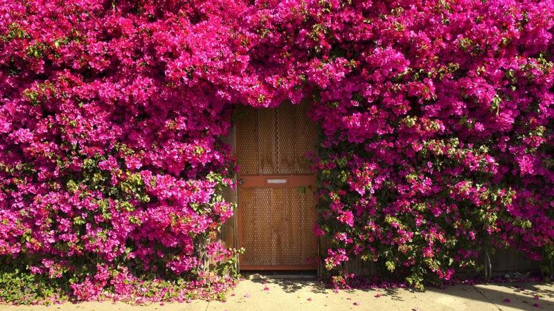 «Виды вьющихся растений для украшения забора на участке» фото - Bougainvillea Many Pink 480642 2048x1152 800x450