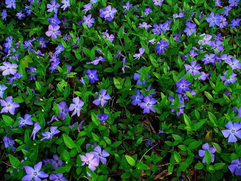 «Виды вьющихся растений для украшения забора на участке» фото - Vinca minor 800x600
