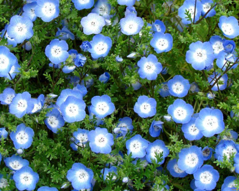 «Клумба для цветов своими руками» фото - golubaya nemofila 800x640