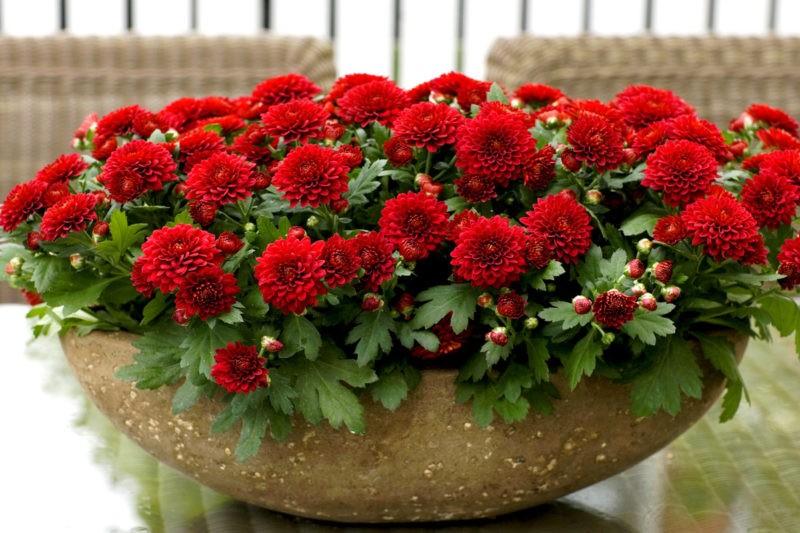 «Вазоны для цветов - пластиковые, бетонные, деревянные» фото - hrizantemy domashnie v gorshkah 800x533