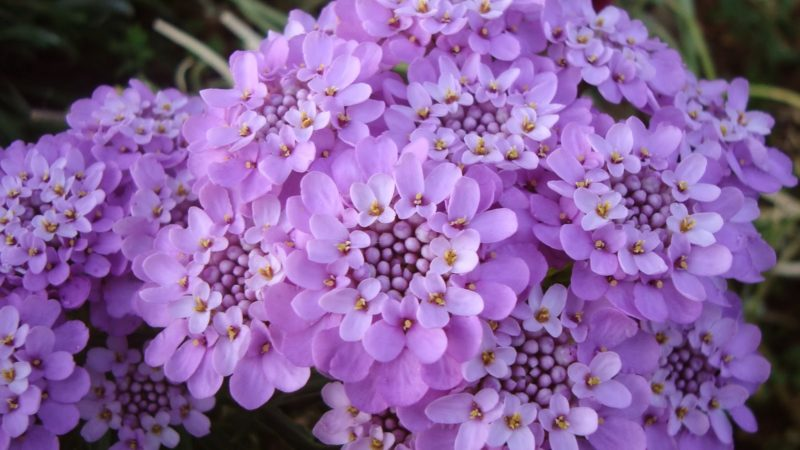 «Клумба для цветов своими руками» фото - iberis gibraltar 800x450