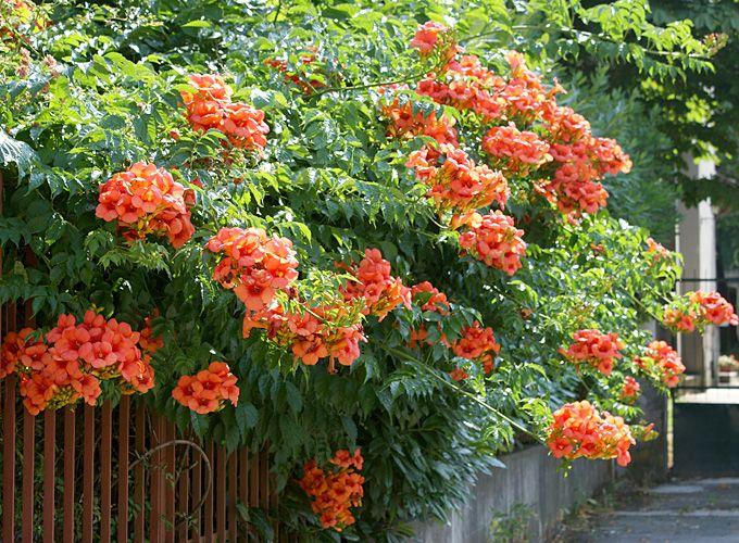 «Виды вьющихся растений для украшения забора на участке» фото - kampsis