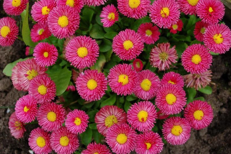 «Клумба для цветов своими руками» фото - margaritki red 1024x681 800x532