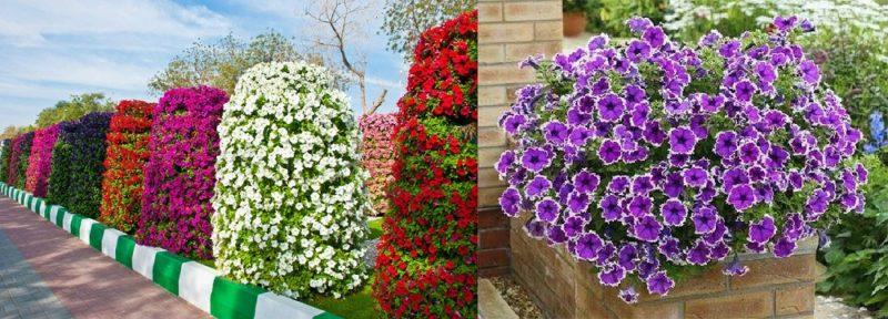 «Как правильно сделать клумбу для цветов» фото - odnoletniki cvety dlya dachi petunia 800x288