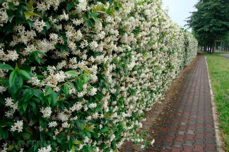 «Виды вьющихся растений для украшения забора на участке» фото - rAYbGV5M 800x533