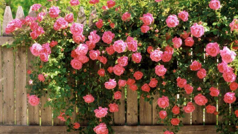 «Виды вьющихся растений для украшения забора на участке» фото - s1200 10 800x450