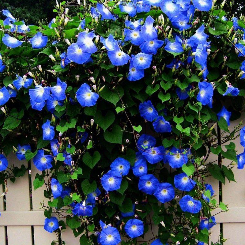 «Виды вьющихся растений для украшения забора на участке» фото - s1200 11 800x800