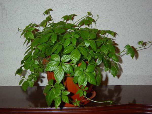 «Вьющиеся домашние растения - фото и название» фото - 1293230