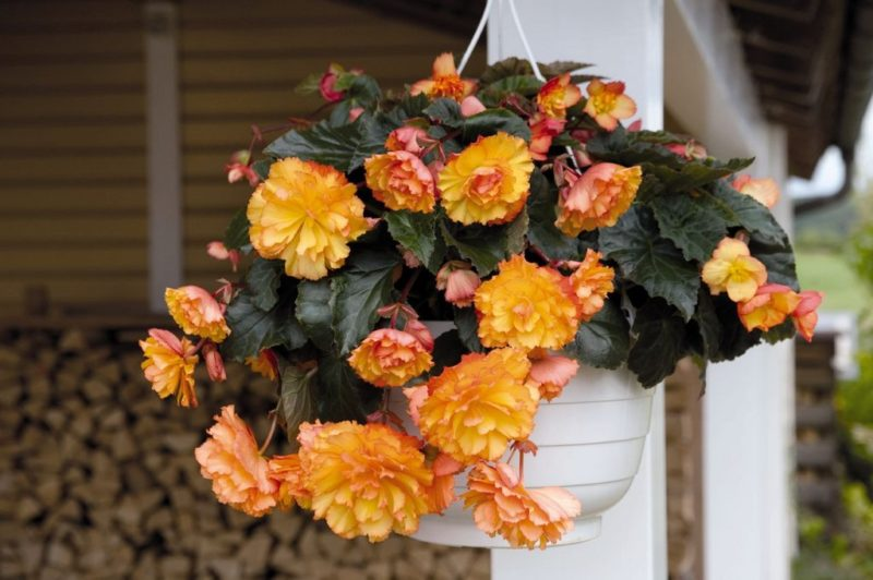 «Вьющиеся домашние растения - фото и название» фото - 5795723a92bd2df1311eca77ea4241b1 800x532