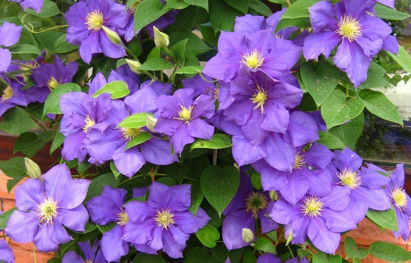 «Вьющиеся домашние растения - фото и название» фото - 58875079576fe548028094.80416559 800x513