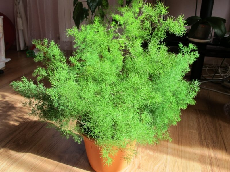 «Вьющиеся домашние растения - фото и название» фото - 8d3f6af75c834e0380c34c71c71084d1 800x600