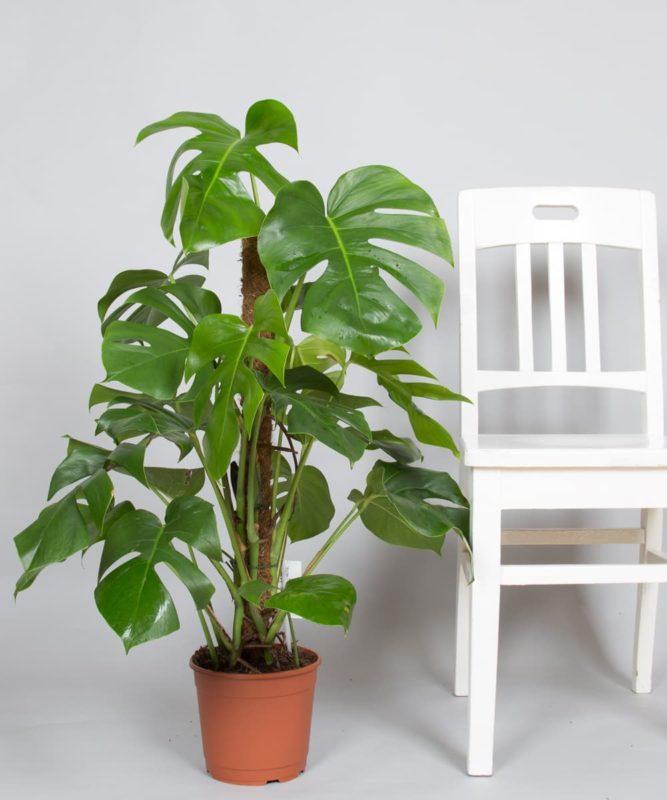 «Вьющиеся домашние растения - фото и название» фото - IMG 3312 1 667x800