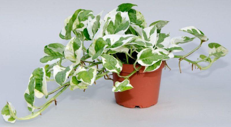«Вьющиеся домашние растения - фото и название» фото - Uhod za stsindapsusom 1024x562 800x439
