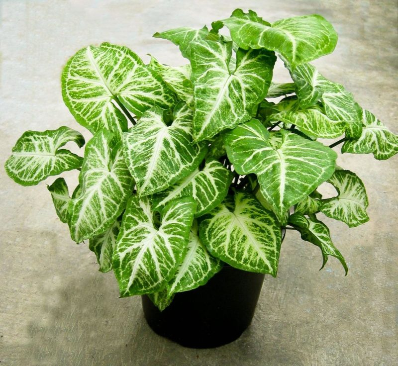 «Вьющиеся домашние растения - фото и название» фото - foto singoniuma 7 800x736