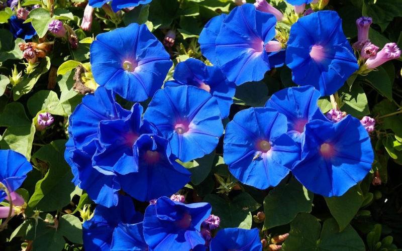 «Вьющиеся домашние растения - фото и название» фото - ipomeya mnogoletnyaya posadka i uhod 3 1 800x500