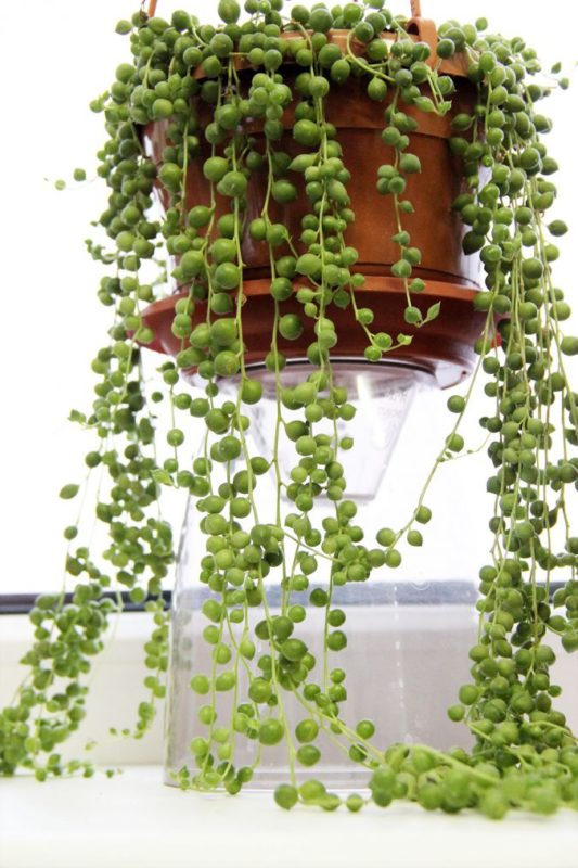 «Вьющиеся домашние растения - фото и название» фото - krestovnik rouli1 e1495211261976 533x800