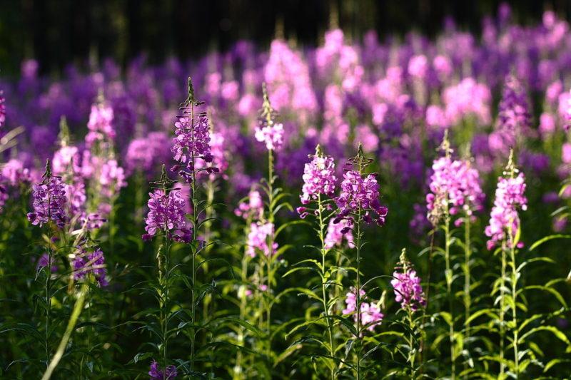 «Где растет трава Иван-чай?» фото - 1158598 800x533