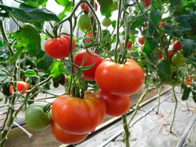 «Лучшие сорта помидор - фото и описание» фото - 1516958112 1