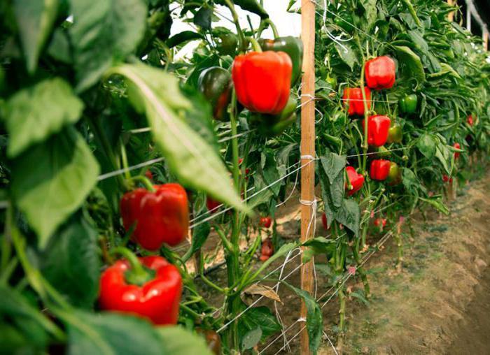 «Выращивание перца в теплице» фото - 1785493