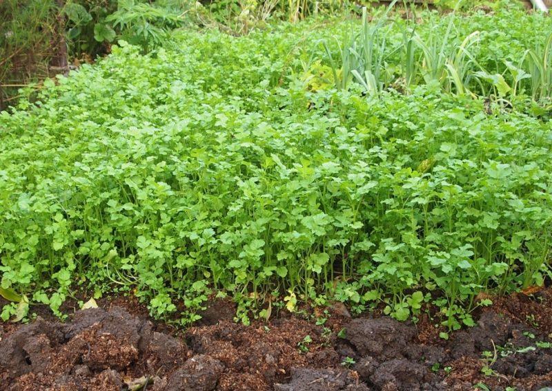 «Когда сеют горчицу осенью?» фото - 1 fonovaja zelenoe udobrenie 800x568