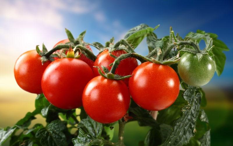 «Лучшие сорта помидор - фото и описание» фото - 302926475 800x500