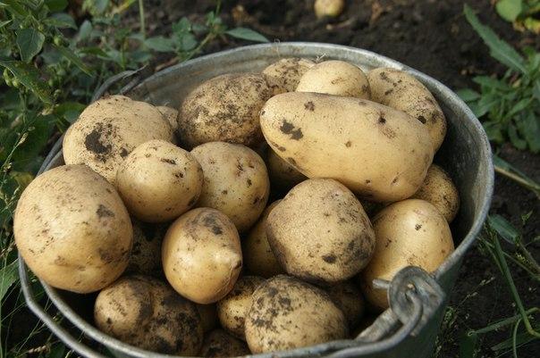 «ТОП-10 лучших сортов картофеля» фото - 5641
