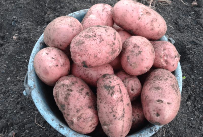 «ТОП-10 лучших сортов картофеля» фото - 66777 1 800x540