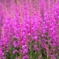 «Где растет трава Иван-чай?» фото - 8de2d152563b2024ca8fc8fff74440c6 120x120