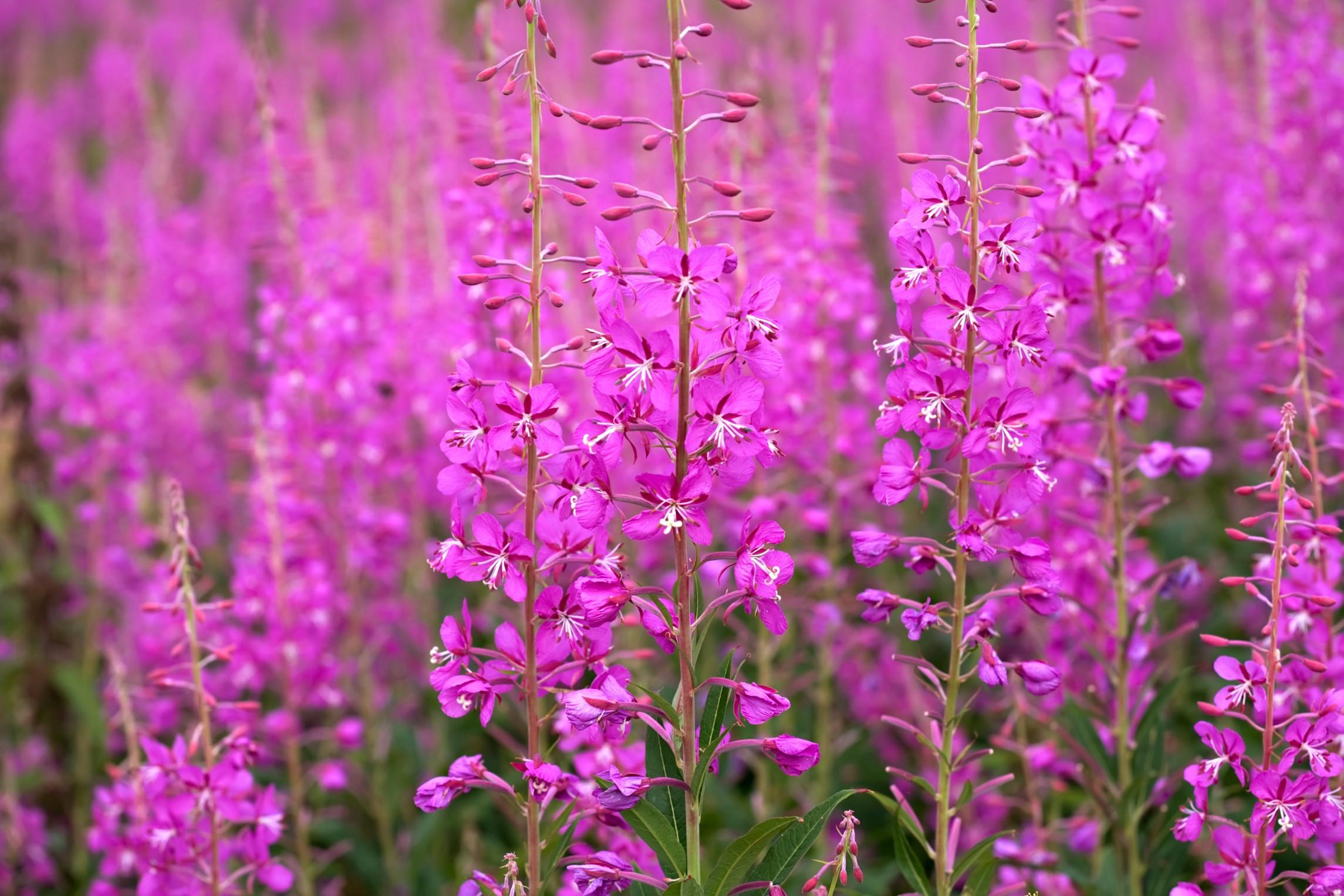 «Где растет трава Иван-чай?» фото - 8de2d152563b2024ca8fc8fff74440c6