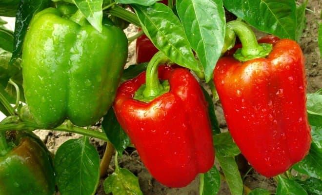 «Выращивание перца в теплице» фото - B1M1r  9dEs