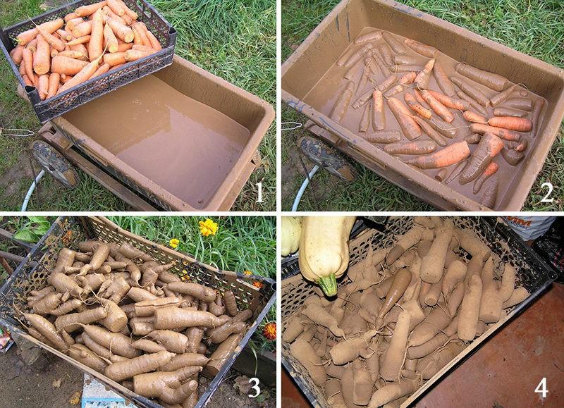 «Как необходимо хранить морковь зимой?» фото - Morkovka v gline 800x579