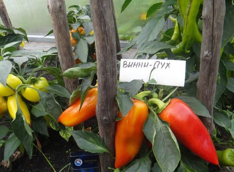 «Выращивание перца в теплице» фото - Perets Vini Puh 800x588