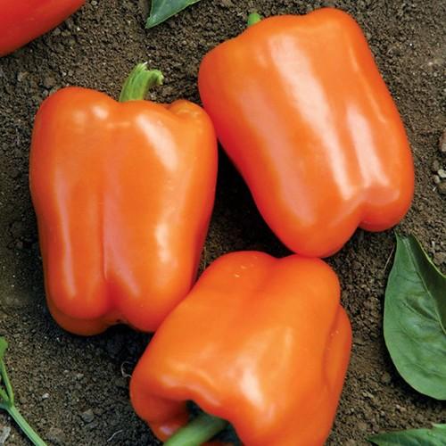 «Выращивание перца в теплице» фото - aad815cd36ef9fd601fca676d026c12f