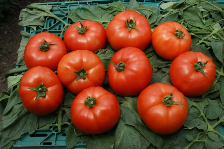 «Лучшие сорта помидор - фото и описание» фото - post 5bee6021d187f 768x512