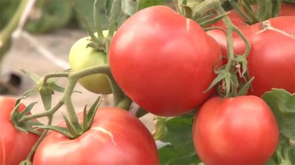 «Лучшие сорта помидор - фото и описание» фото - tomaty 8