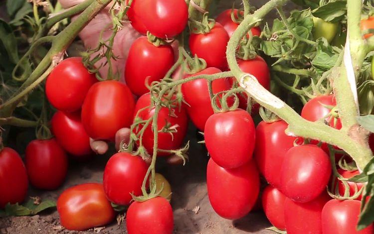 «Лучшие сорта помидор - фото и описание» фото - tomaty gaspacho