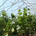 «Выращивание огурцов в теплице из поликарбоната» фото - 30022 120x120