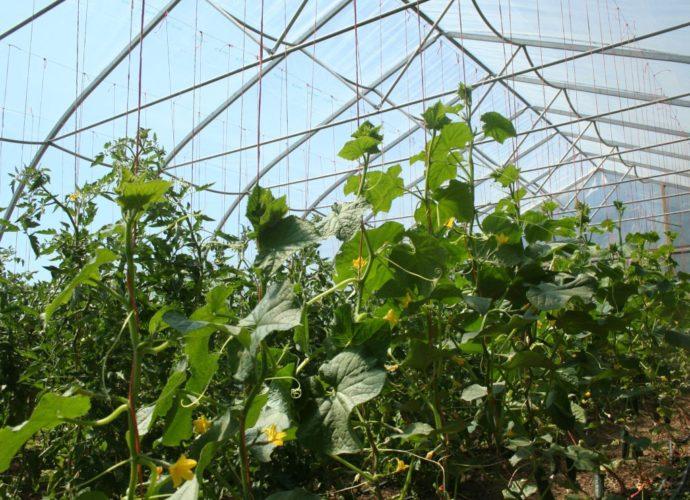 «Выращивание огурцов в теплице из поликарбоната» фото - 30022 690x500
