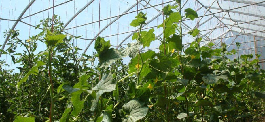 «Выращивание огурцов в теплице из поликарбоната» фото - 30022 920x425