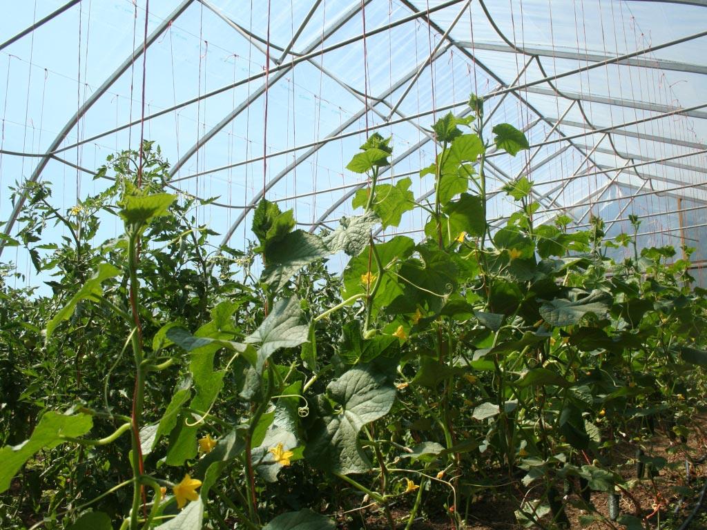 «Выращивание огурцов в теплице из поликарбоната» фото - 30022