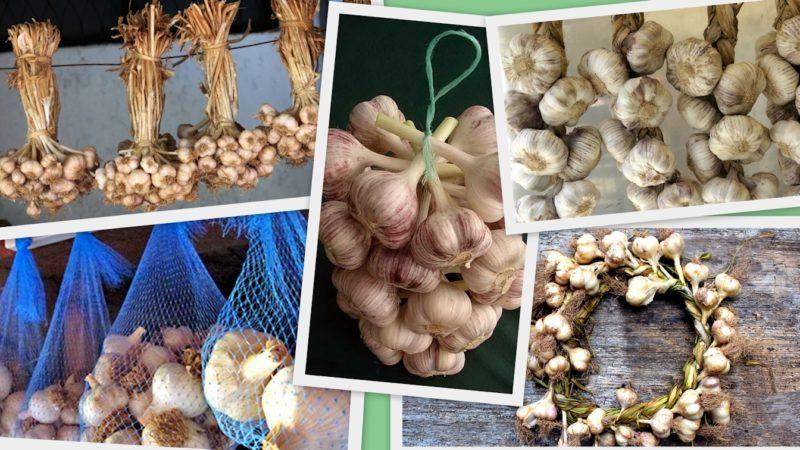 «Озимый чеснок - описание, выращивание и хранение» фото - 444 chesnook v gorodskoj kvartire2 800x450