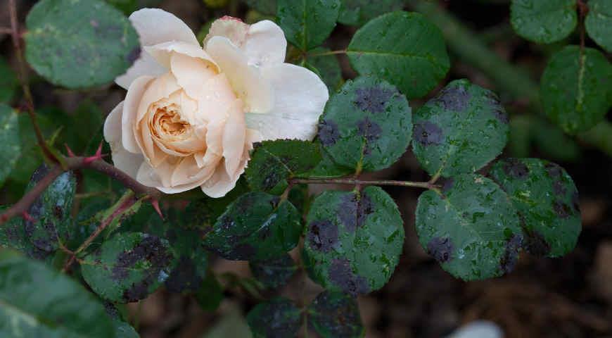 «10 распространенных болезней роз» фото - 5 238