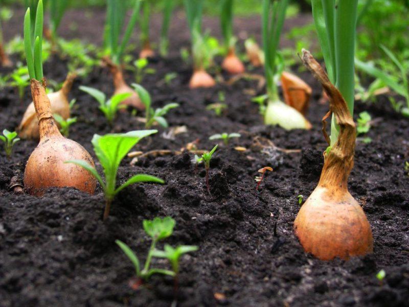 «Посадка лука севка - уход и выращивание» фото - 5 245 800x600